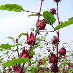 Tác dụng của hoa atiso đỏ có giống atiso Đà Lạt không?