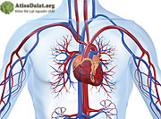 tác dụng của atiso hỗ trợ tim mạch